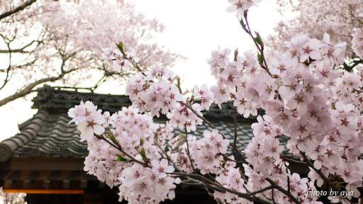 高遠城址公園の桜2