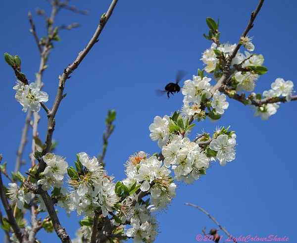 Apple tree blossom and black bumblebee