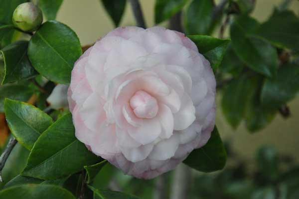 camellia Nuccio's Pearl