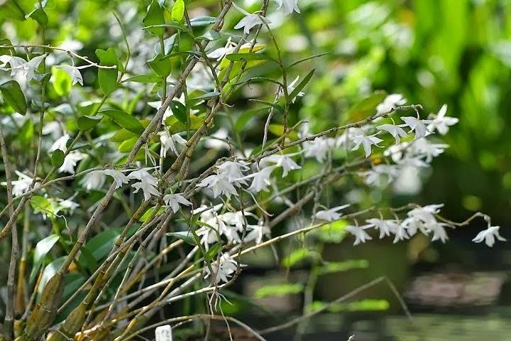 hoàng thảo bạch câu là loại phong lan sớm nở tối tàn