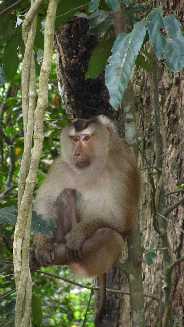 One of the monkeys protecting our truck (or more accurately: looking for food to steal).