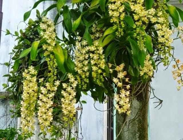 Quế Lan Hương thuộc họ lan giáng hương, khỏe, dễ thuần, thích hợp với nhiều điều kiện môi trường khác nhau