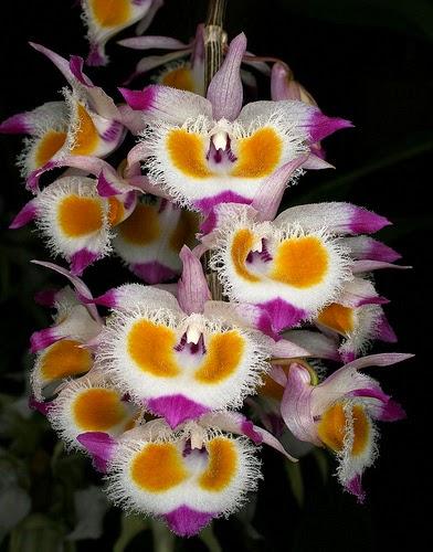 Hoàng thảo tam bảo sắc có hoa sặc sỡ, môi tua