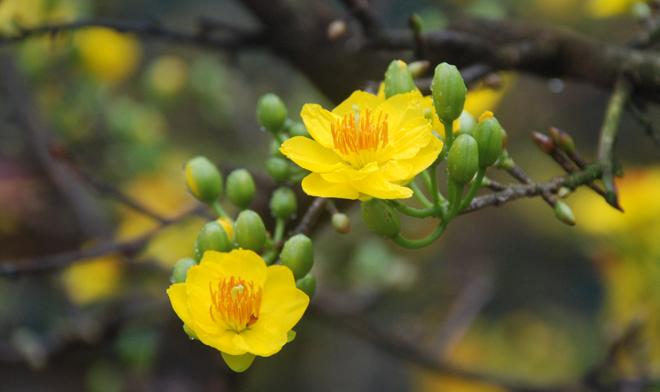 Tải ảnh hoa mai vàng với những búp nụ