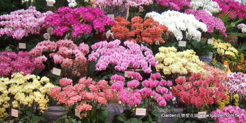 春節花卉蝴蝶蘭