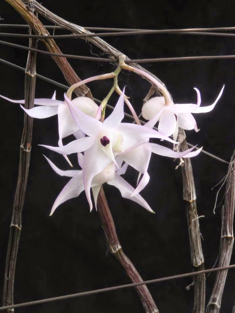 Hoàng thảo hương vani ra hoa ở gần ngọc với những bông hoa nhỏ
