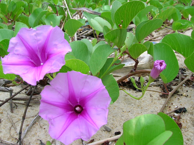 Vườn hoa muống biển đẹp