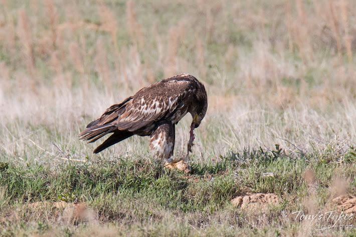 A juvenile Bald Eagle tears apart a prairie dog.  (© Tony's Takes)