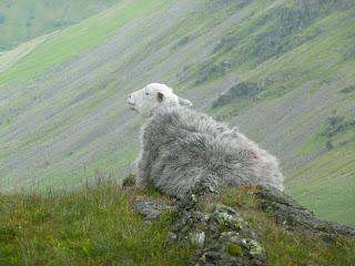 Sheep at Threshwaite Mouth