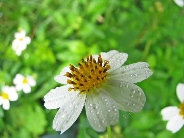 hoa xuyến chi nhiều cánh