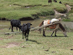 """Horse and cows at the """"Longclaw stop"""" en route to Goba"""