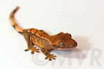 Halcyon - Juvenile Tricolor Crested Gecko from moonvalleyreptiles.com
