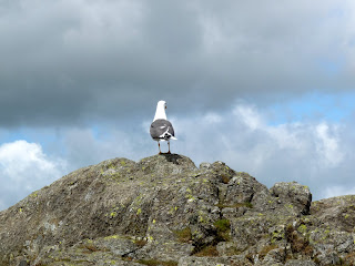 A solitary Seagull at the summit of Harrison Stickle.