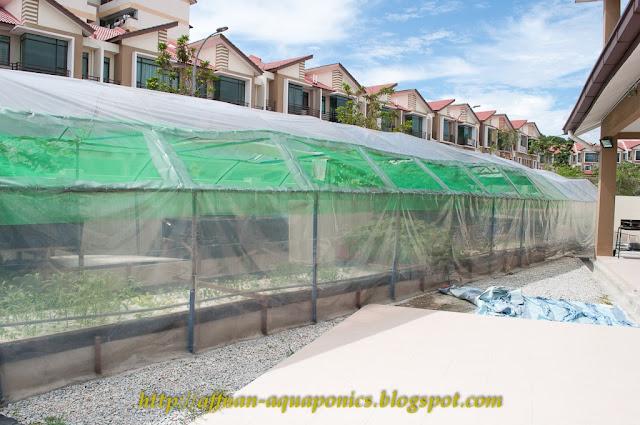 Affnan 39 s aquaponics agustine edwin aquaponics for Raising tilapia in a pool
