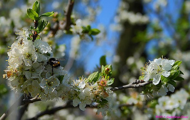 Bumblebee on blooming apple tree twig