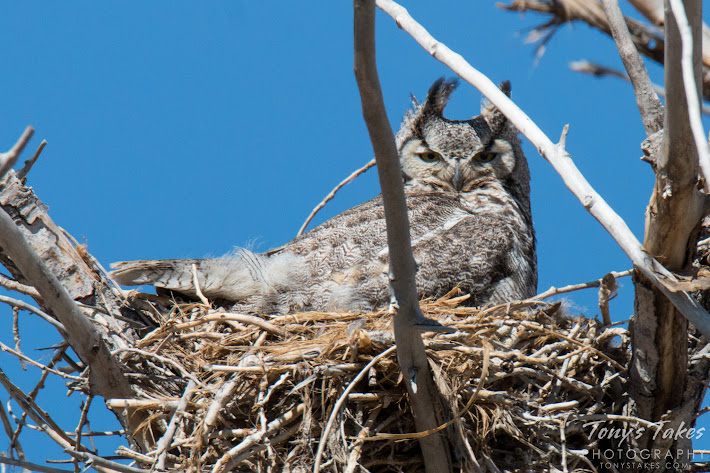 A watchful Great Horned Owl on her nest in Commerce City, Colorado.   (© Tony's Takes)