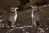 Galapagos Penguins at Bartolome Island