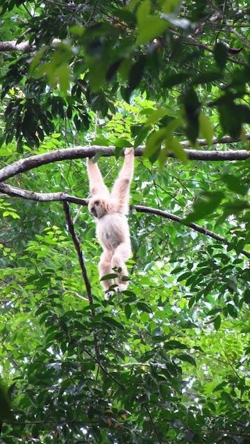A beautiful white Gibbon.
