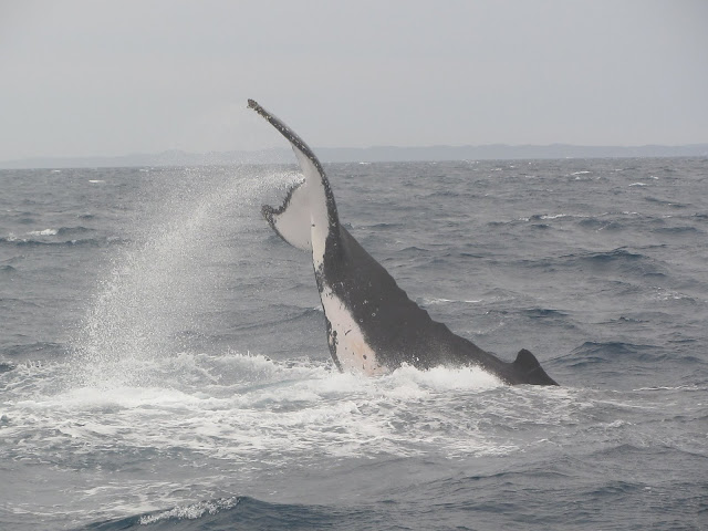 A Humpback lifting its tail high above the water getting ready to slap.