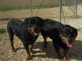 This beautiful couple Zeus and Xena were surrendered together.