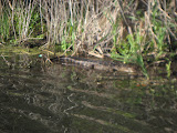 Alligator at Barefoot Landing in Myrtle Beach - 05