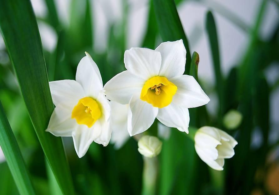 Hình hoa thủy tiên tuyệt đẹp