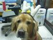 聖誕節還沒到,幹嘛把我打扮成小麋鹿啊。