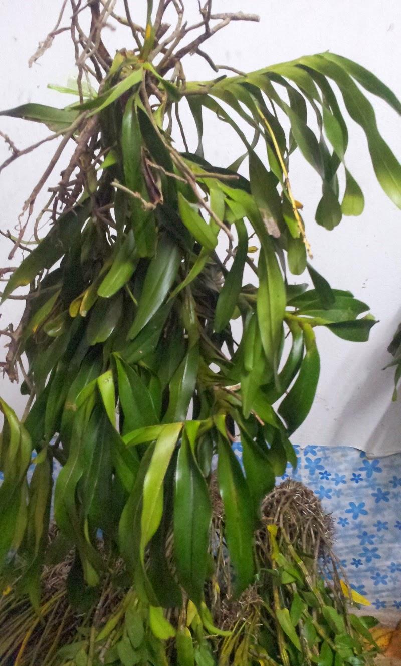 quế lan hương lá xếp