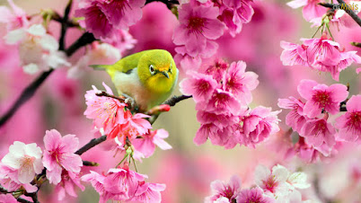 lindo-passarinho-amarelo-wallpaper.jpg