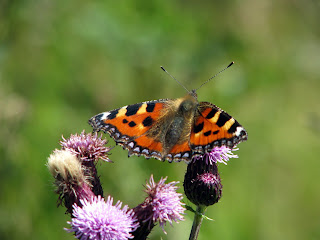 Tortoiseshell Butterfly on Thistle during walk to Stanage Edge - 8th August 2009