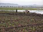 A farmer plowing at Lake Chelekcheka