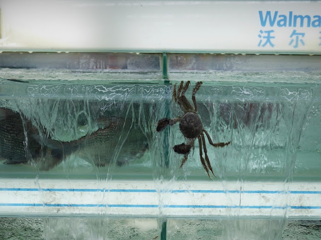 crab dangling outside a tank of water