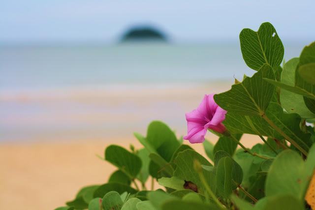 hình hoa muống biển thật đẹp