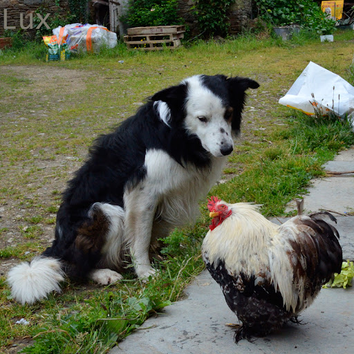 Chasse coq Pyrnes - Forumsbluebeltoncom