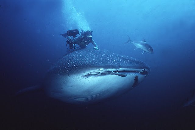 Divers Dwarfed by Whales And Sharks Seen On www.coolpicturegallery.us