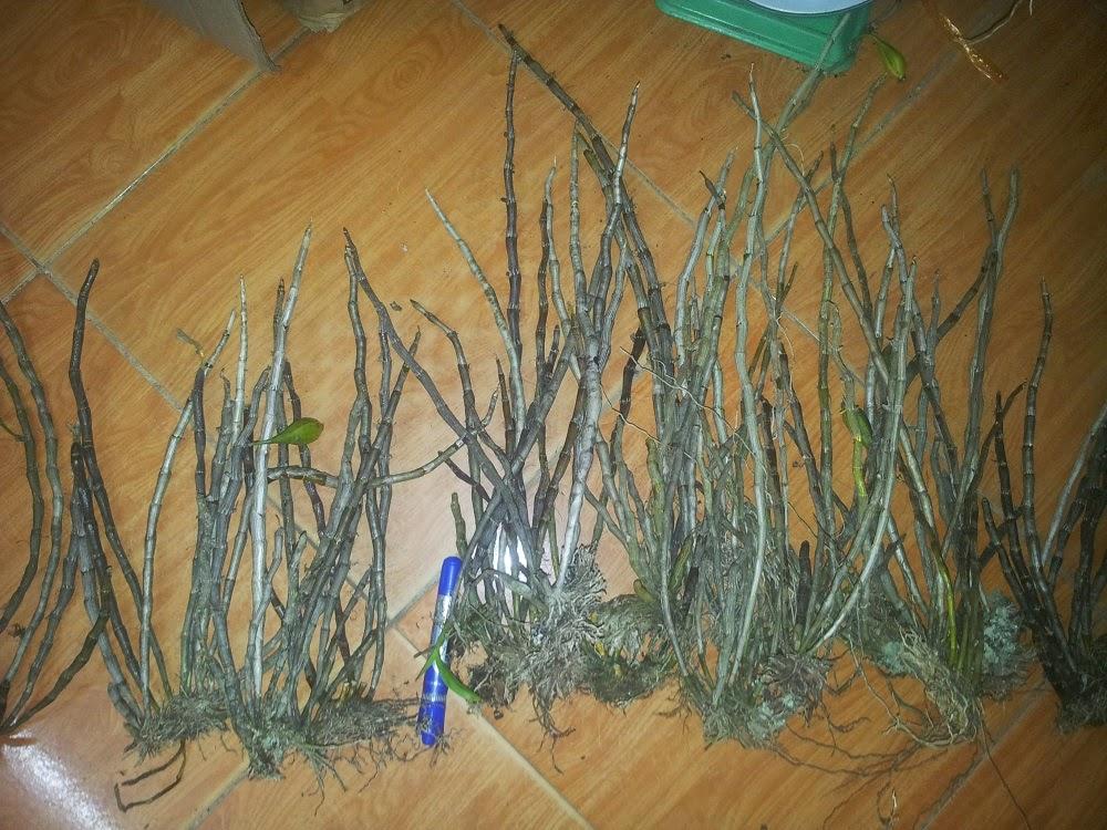 Hoàng thảo kèn thường được bán tính theo thân tơ do khá hiếm