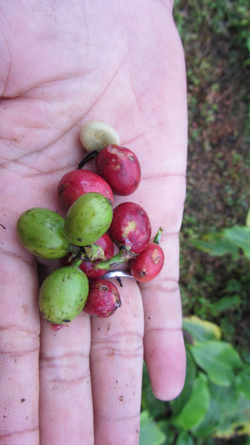 Coffee cherries from the Blawan Coffee Plantation. The smaller tan-colored item at top is one of two beans found in each cherry.