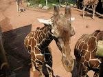 More giraffe goodness