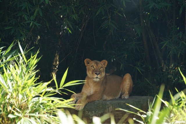taronga zoo sydney australia lion lioness big cat