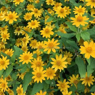 Melampodium (Butter Daisy)