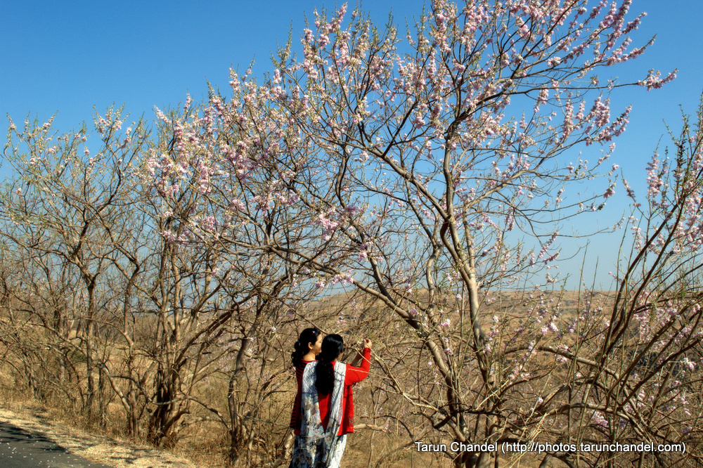 Pink Flower Trees , Tarun Chandel Photoblog