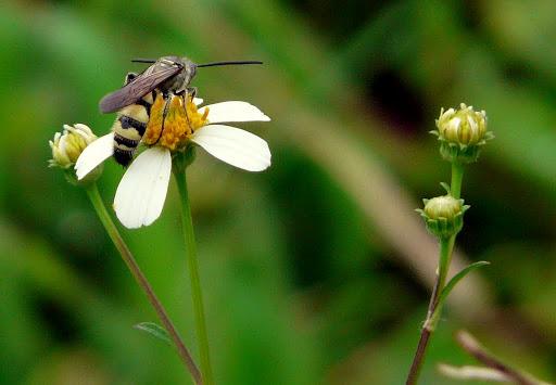 Ảnh hoa xuyến chi và ong