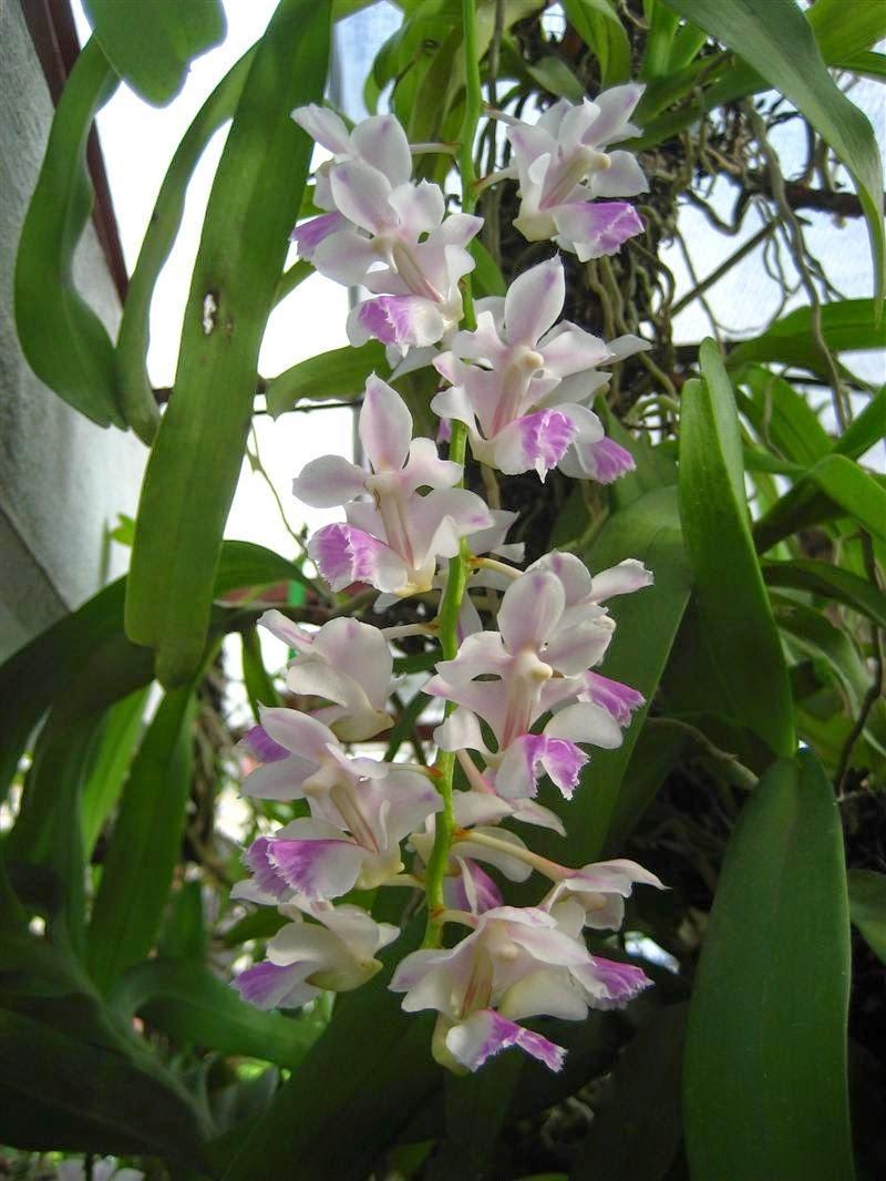 Giáng hương tam bảo sắc có rễ gió phát triển mạnh, hoa nở vào khoảng tháng 3-4 dương lịch
