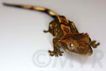 Blanket - harlequin morph partial pinstripe crested gecko baby.