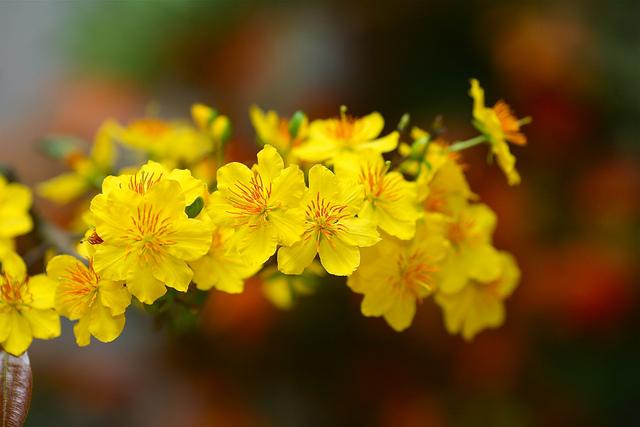 Bộ ảnh hoa mai vàng đẹp rực rỡ khi Tết đến Xuân về