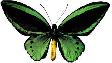 Mariposa colore verde con negro y cuerpo amarillo