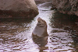 A Bull Sealion Poses for the Group