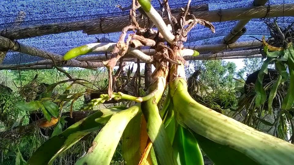 Lan Đai Châu là một cây lan chịu hạn khá tốt, nhưng nó thích ẩm