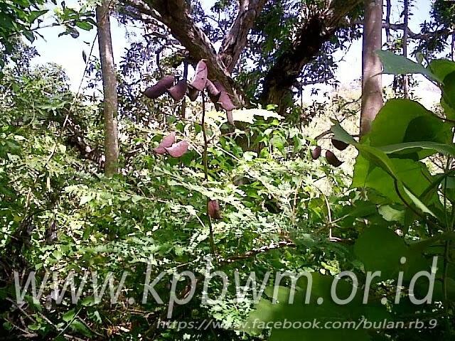 bentuk pohon dolong mandar