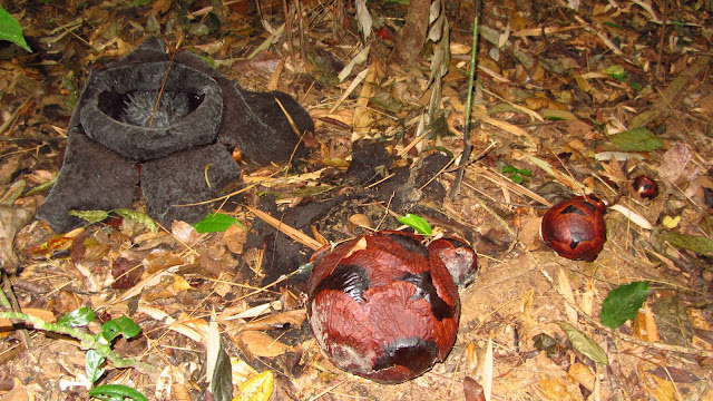 A rapidly decomposing rafflesia at left, along with a number of bulbs to the right.